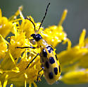Golden Rod Beetle - Diabrotica undecimpunctata