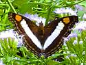 Silver Emperor - Doxocopa laure - female