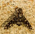 black/brown fly/moth with clear wing spots - Xenox tigrinus