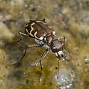 Tiger Beetle ID Request - Cicindela repanda