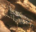 Tetrigid - Paratettix mexicanus