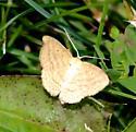 Mariegoldsolar insect - Scopula