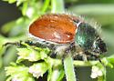 Scarab - Paracotalpa ursina