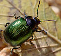 Small, shiny beetle - Chrysolina auripennis