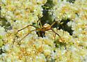 Pretty, scrawny spider - Latrodectus hesperus - male
