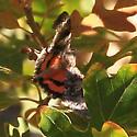 Butterfly in Gambel's Oak - Catocala