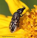 Fly - Nemotelus kansensis - female