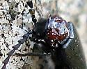 Beetle - Ditemnus - male