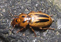 Beetle - Stenolophus lineola