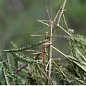 Walking Sticks mating.........any ID? - Diapheromera