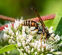 Wasp9062 - Polistes fuscatus