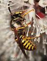 Wasp - Dolichovespula arenaria - male
