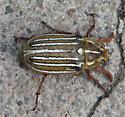 Beetle - Polyphylla decemlineata