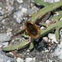 Unknown insect at Elkhorn Slough - Bombylius major