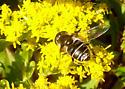 unknown fly - Eristalis dimidiata