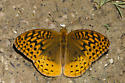 Great Spangled Fritillary - Speyeria cybele - male