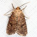 Northern Scurfy Quaker - Homorthodes furfurata