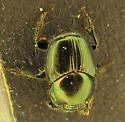 Onthophagus orpheus, male? - Onthophagus orpheus - male