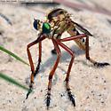 A Robber Fly  (Asilidae) image - Diogmites