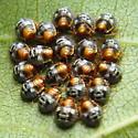 Green Stink Bug Eggs on Wild Grape - Chinavia hilaris