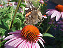 3rd Butterfly on Frederick - Vanessa atalanta