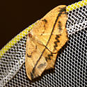 brown moth with horizontal stripe and zigzag stripes - Prochoerodes lineola