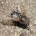 Sunbathing on a rock - Pollenia - male