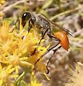 Wasp A 10.14.17 - Prionyx - female