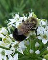 bombus - affinis, vagans, sandersoni? - Bombus affinis