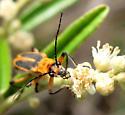 Likely margined leatherwing - unusual thorax  - Chauliognathus marginatus