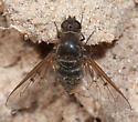 Conophorus? - Anthrax larrea