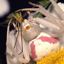 Meal for a crab spider - Megaloceroea recticornis