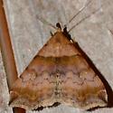 Ambiguous Moth - Lascoria ambigualis - female