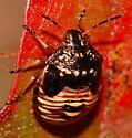Stink Bug nymph - Thyanta