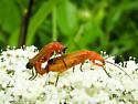 beetle - Rhagonycha fulva