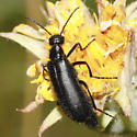 Hairy Beetle - Epicauta puncticollis