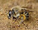 mining bee? - Osmia cornifrons