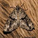 Geometrid - Vinemina opacaria - female