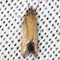 moth - Triclonella