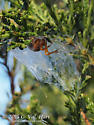 N. crucifera - Araneus
