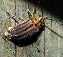 beetle - Ophraella sexvittata