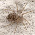 Adult female - Oecobius amboseli - female