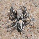jumper - Habronattus californicus