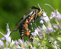 unknown fly - Melittia cucurbitae