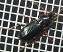 Carabidae - Loxandrus