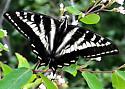 Papilio eurymedon feeding on snowberry - Papilio eurymedon