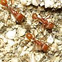 Pogonomyrmex sp. - Pogonomyrmex californicus - female