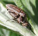 mating weevils - Scaphomorphus longinasus - male - female