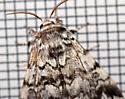 black zigzag moth - Panthea acronyctoides - male