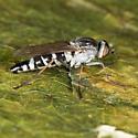 Stiletto Fly - Ozodiceromyia argentata
